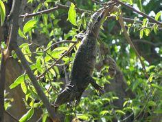 Iguana colgando de las ramas de un árbol