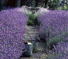 Munstead Lavender is named from Munstead Woods, the home of famous garden designer Gertrude Jekyll.