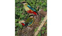 BirdLife Zimbabwe website relaunched - http://zambezitraveller.com/harare/birding/birdlife-zimbabwe-website-relaunched (image credit: African Pitta - RICHARD PEEK)