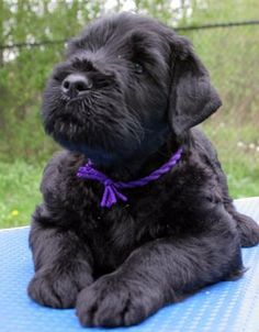 1000+ images about Black Russian Terrier on Pinterest ...