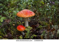 agaric mushroom, red and white poisonous mushroom in the forest Mushroom Stock, Poisonous Mushrooms, Mushroom Images, Red And White, Royalty Free Stock Photos, Stuffed Mushrooms, Illustration, Pictures, Illustrations