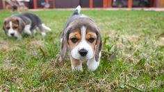 beagles pocket size