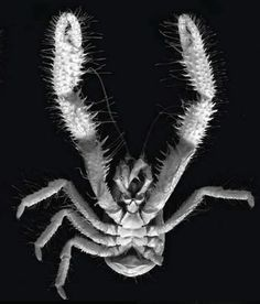 The Yeti Crab, K. puravida, discovered in 2006,  lives in methane seeping fissures 3,300' deep and has recently been shown to harvest bacteria which live on their hairy arms and eat them.