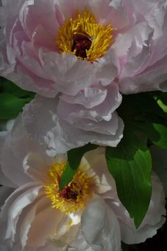 Once a Year, The Peonies Bloom— Peony, Spring Time, Beautiful Flowers, Delicate, Bloom, Rose, Plants, Painting, Flowers
