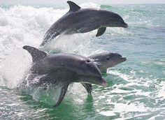 ☼ Sanibel Island, Florida ☼ — Trio of dolphins on a cruise off of Sanibel Island