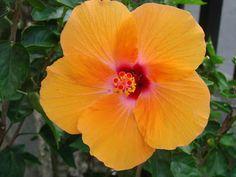 peachy hibiscus