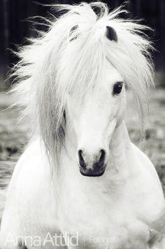 Beauty. White horse with a full bushy wild mane.