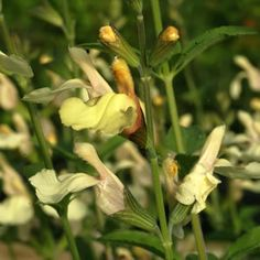 SALVIA YELLOW - Garden Express