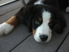 Bernese Mountain Puppy lraikes3 - see more here -