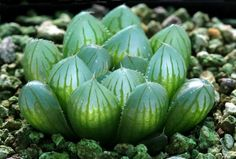 Like all species in the genus, the succulent Haworthia obtusa (Xanthorrhoeaceae) is endemic to Southern Africa, but widely cultivated worldwide as an ornamental plant.