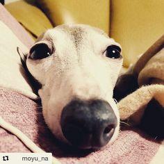 Un'altra foto che ci arriva dal Giappone!  Che ore sono? Dai ancora 5 minuti... . . #Repost @moyu_na with @repostapp  2016.09.01 かなりぶちゃいく #イタグレ#イタリアングレーハウンド#犬#italiangreyhound#dog #bausocial #cane #cani #dog #dogs #japan #giappone #sleepy #sonno #love #life #friends