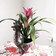 A bromeliads plant for my cute Spanish inspired rooster pot.  I can't help but love exotic plants & dreaming of living a Mediterranean lifestyle.   Photo taken by @lacyrosexo on Instagram.