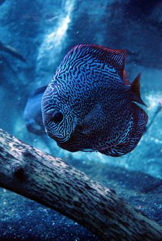 Discus Fish by missshelbzilla