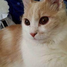 #ミヌエット#ナポレオン#短足#男の子ママ#マンチカン#ペルシャ#ふわもこ部 #もふもふ部 #もこもこ部 #にゃんず#meaw #cat#cute #らぶねこ #愛猫#愛猫同好会 #猫#ねこら部 #ねこあつめ #ねこばか部 #ねこすたぐらむ #にゃんこ部 #にゃんすたぐらむ #お耳#大好き