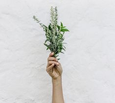 30 Organic Rosemary Sprigs for Wedding Favors Fresh Rosemary Peppermint Essential Oil Uses, Essential Oils, How To Clear Sinuses, Anti Inflammatory Herbs, Adrenal Health, Gut Health, Health Tips, Organic Herbs, Herbal Remedies
