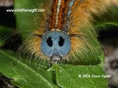 Image result for lackey caterpillars