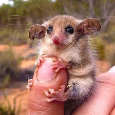 OMG..I need one!!! Australian western pygmy possum.