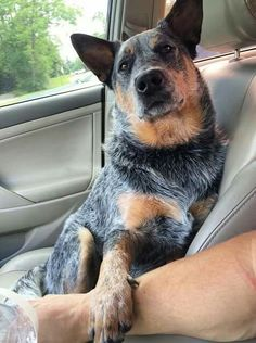 """""""Look, no pressure, but I would really love you if you got me an ice cream cone on our way home. No pressure, though."""" via instagram.com/beaux_the_blueheeler"""