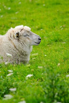 Sheep in the grass ~ getting some sun and looking very happy in a field in Germany #animals #green