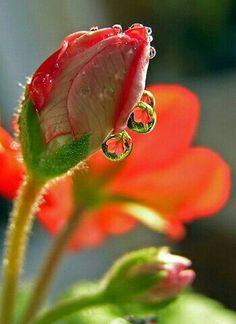 Ideas For Flowers Photography Tulips Dew Drops Amazing Flowers, My Flower, Flower Power, Beautiful Flowers, Macro Flower, Beautiful Mirrors, Beautiful Pictures, Fotografia Macro, Dew Drops