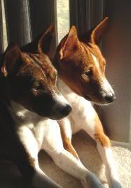 Basenji Yorkshire Terrier Puppies Basenji Dogs Siberian Husky