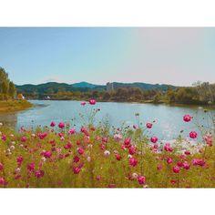 . . . . . . . #꽃 #꽃스타그램 #가을 #코스모스 #sky #flower #skyporn #fall