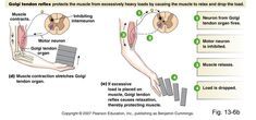 This image above explains how the golgi tendon organ protects the tendon from stretching to far. Motor Neuron, Musculoskeletal System, Muscle Contraction, Muscle Anatomy, Board Exam, Trigger Points, Physical Therapist, Neurology
