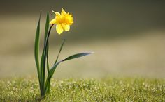 narcissus-wallpapers-best