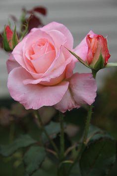 Light Pink Roses | Light Pink rose