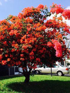 Bougainvillea tree in full bloom, - tropical garden ideas