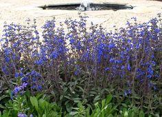 Plant-paintbox Range 140mm Salvia Aztec Blue - Bunnings Warehouse