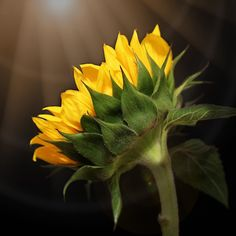 Shine Your Light on Me acrylic art block. home decor, sunflower, gifts. Also available as prints, posters, phone cases, pillows, tote bags, coffee mugs, spiral notebooks, fleece blankets, yoga mats, and on T-shirts.