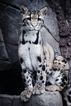 I think this is an ocelot? #BigCatFamily