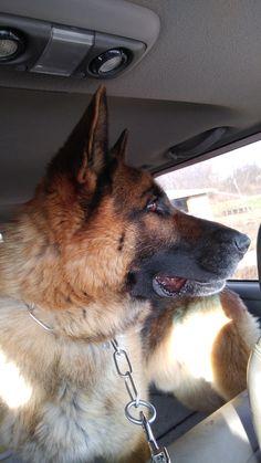 Gastor Goldenhausk9 Com Dog Breeder Dogs German Shepherd Dogs