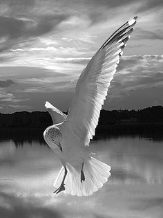 ~~black and white Seagull dancing! by Jeny's flickr page~~