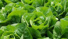 Salades dans le potager du Prieuré