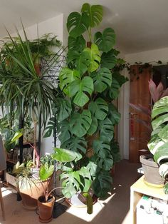 This beautiful monstera deliciosa! … This beautiful monstera deliciosa! This beautiful Monstera Deliciosa! This whole room is Tall Indoor Plants, Outdoor Plants, Hanging Plants, Garden Plants, Balcony Garden, Veg Garden, Vegetable Gardening, Garden Ladder, Forest Plants