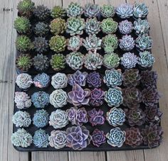 "15 Misc Echeveria Mixed Succulents 2.5 "" Pots Great for Gifts and Wedding by Echeveria Succulent Collection, http://www.amazon.com/dp/B00B356YXI/ref=cm_sw_r_pi_dp_vfturb1TGJTCB"
