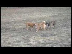 Korean Jindo dogs at the park