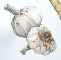 Not bad for a garlic drawing Watercolor Fruit, Watercolor Paintings, Watercolors, Botanical Drawings, Botanical Prints, Vegetable Illustration, Food Drawing, Fruit Art, Fruit And Veg