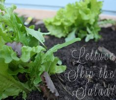 8 Tasty Lettuce Recipes – No Salads Here!