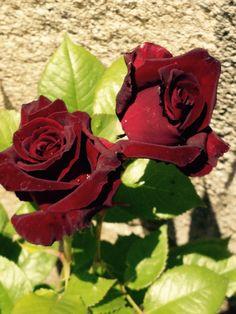 Rosas rojo pasión