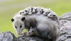 For one reason or another, opossums have gotten a pretty bad reputation as filthy, rabies-ridden creatures that we should fear. This perception couldn't be farther from the truth! Read on to learn about the Virginia opossum and why it should earn your love.