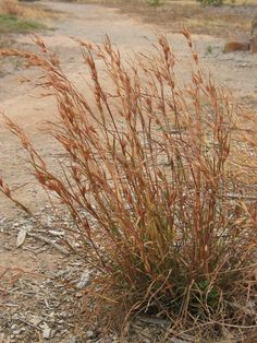 Themeda triandra / Kangaroo Grass