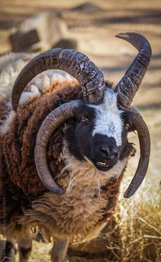 Four Horned Jonah Sheep by Alan Shapiro | Stocksy United