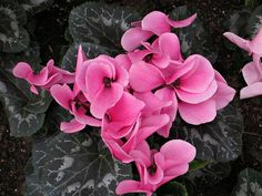 Florist's Cyclamen, Primrose Family, Longwood Gardens IMG_8514  Photograph by Dolores Kelley using a Canon PowerShot S90 camera.  Roy and Dolores Kelley Photographs
