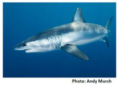 #SharkOfTheDay! Shortfin makos are used for meat & are pop. fishing targets