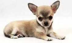 Risultati immagini per cani di piccola taglia da appartamento