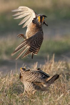 Duel of the Pheasants | by Phil Frigon on 500px