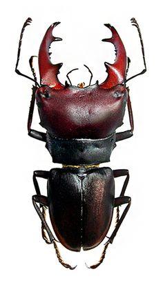 macrocrates australis